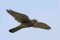 Torenvalk – Falco tinnunculus(2)