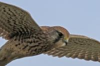 Torenvalk – Falco tinnunculus(3)