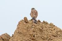 Torenvalk – Falcotinnunculus