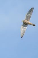 Torenvalk in de vlucht – Falco hinnunculus(1)
