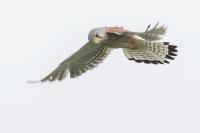 Torenvalk in de vlucht – Falco hinnunculus(3)