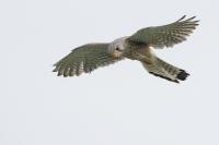 Torenvalk in de vlucht – Falco hinnunculus(4)
