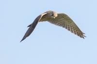 Torenvalk in de vlucht – Falcohinnunculus