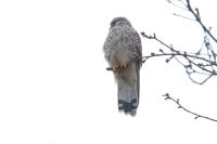 Torenvalk op de uitkijk – Falco hinnunculus(1)