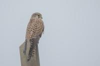 Torenvalk op de uitkijk – Falcohinnunculus