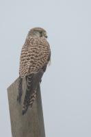 Torenvalk op de uitkijk – Falcotinnunculus