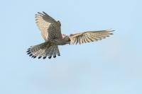 Torenvalk vrouw – Falcotinnunculus
