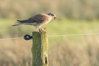 Torenvalk vrouw met prooi – Falcotinnunculus