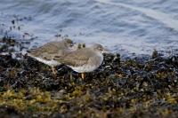 Tureluur winterkleed – Tringa totanus(11)