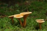 Valse hanenkam – Hygrophoropsis aurantiaca(2)