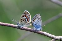 Veenblauwtjes – Plebeiusoptilete