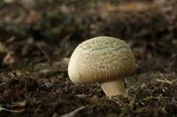Vezelige anijschampignon – Agaricusfissuratus