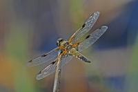 Viervlek – Libellula quadrimaculata(3)