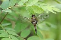 Viervlek – Libellulaquadrimaculata