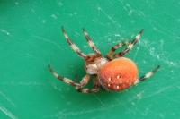 Viervlek wielwebspin – Araneus quadratus(6)