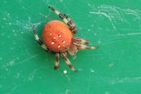 Viervlek wielwebspin – Araneus quadratus(7)