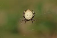 Viervlekwielwebspin – Araneus quadratus(1)