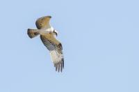 Visarend jagend – Pandion haliaetus(2)
