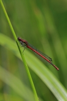 Vuurjuffer – Pyrrhosoma nymphula(2)