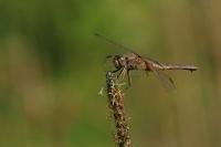 Vuurlibel – Crocothemis erythraea(4)