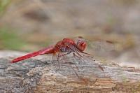 Vuurlibel – Crocothemiserythraea
