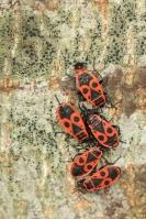 Vuurwants – Pyrrhocoris apterus(2)