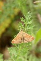 Weegbreemot –  Pyrausta despicata(2)