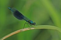 Weidebeekjuffer – Calopteryx splendens(1)