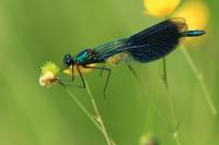 Weidebeekjuffer man – Calopteryx splendens(4)