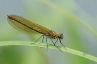 Weidebeekjuffer vrouw – Calopteryx splendens(5)