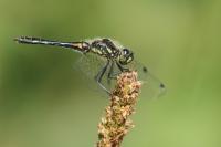 Zwarte heidelibel – Sympetrum danae(2)