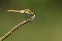 Zwarte heidelibel – Sympetrum danae(3)