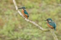 IJsvogel met juveniel – Alcedoatthis