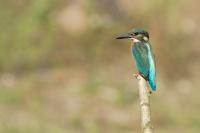 IJsvogel vrouw juv – Alcedo atthis(2)