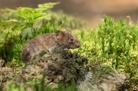 Rosse woelmuis – Myodes glariolus(2)