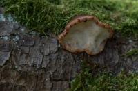 Ruige weerschijnzwam – Inonotus hispidus(3)