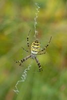Tijger of wespspin – Argiopebruennichi