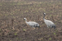 Kraanvogels foeragerend – Grus grus(2)