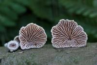 Waaiertje – Schizophyllum commune(2)