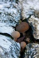 Winterhoutzwam – Polyporus brumalis(2)