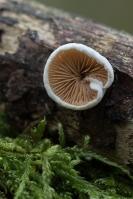 Wit oorzwammetje – Crepidotus variabilis_MG_1398