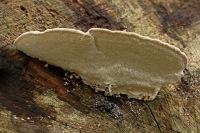 Witte korstzwam –Corticiaceae