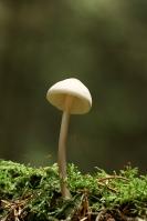 Witte satijnvezelkop – Inocybegeophylla