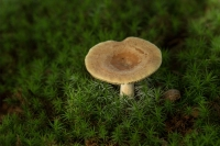 Zwavelmelkzwam – Lactarius circellatus(1)