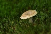 zwavelmelkzwam-lactarius-circellatus