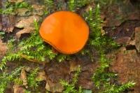 Gewone wimperzwam – Scutelliniascutellata