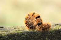 Kleine hageheld rups – Lasiocampa trifolii(3)