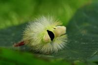 Merianderrups opgerold – Calliteara pundibunda(3)
