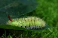 Meriansborstel – Calliteara pundibunda(1)