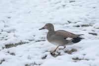 Krakeend man in de sneeuw – Anasstrepera